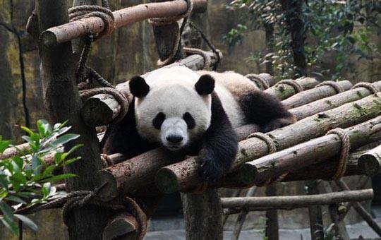 Dujiangyan Panda Valley