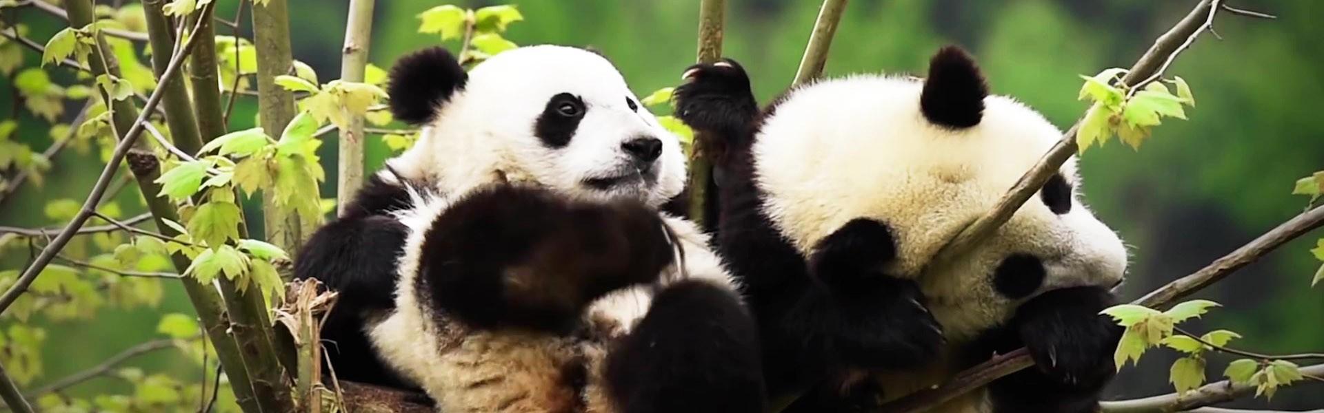 Panda'1920x600'1