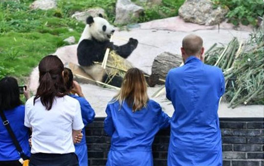 Volunteer at one of Sichuan's giant panda research bases