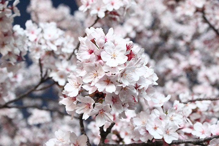 Top Ten Places To See Cherry Blossoms In China This Spring