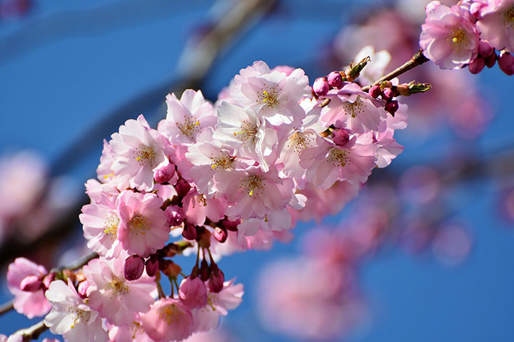 top ten places to see cherry blossoms in china this spring the